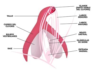 El clítoris completo