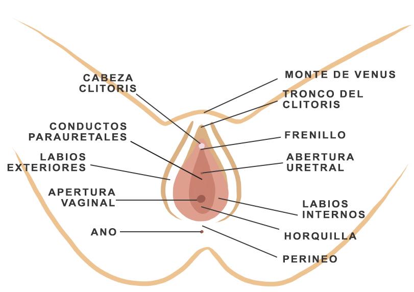 Esquema de la vulva